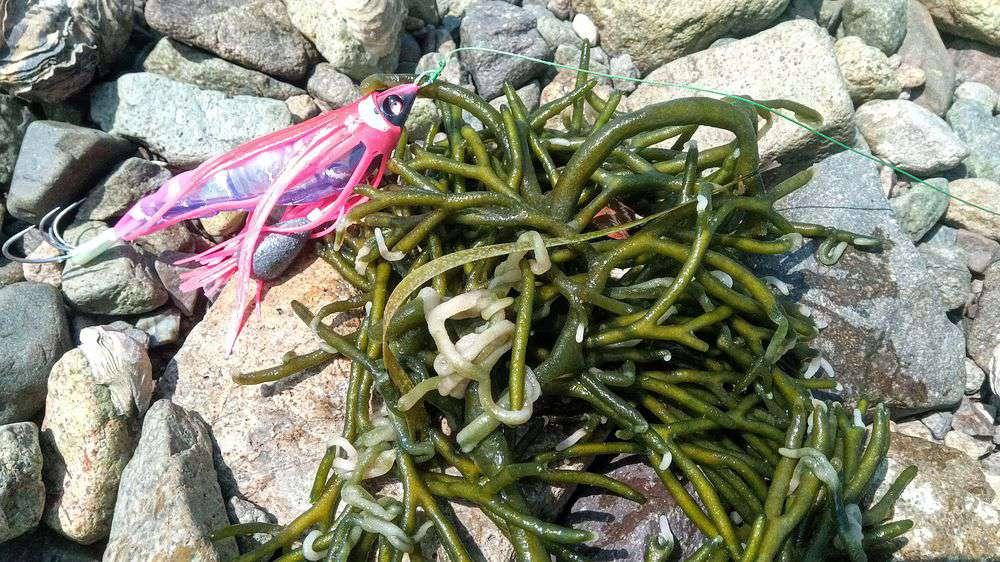 こんな海藻が至るところに生えていました