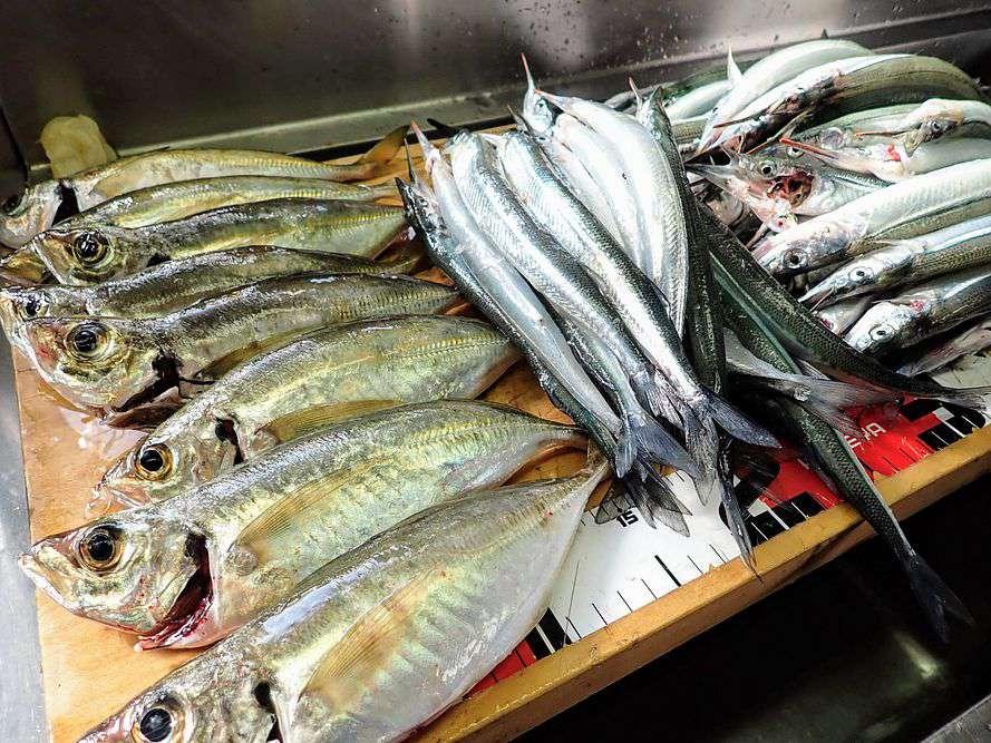 アジ25cm程度8匹。サヨリ25~30cm程度が60匹の釣果。