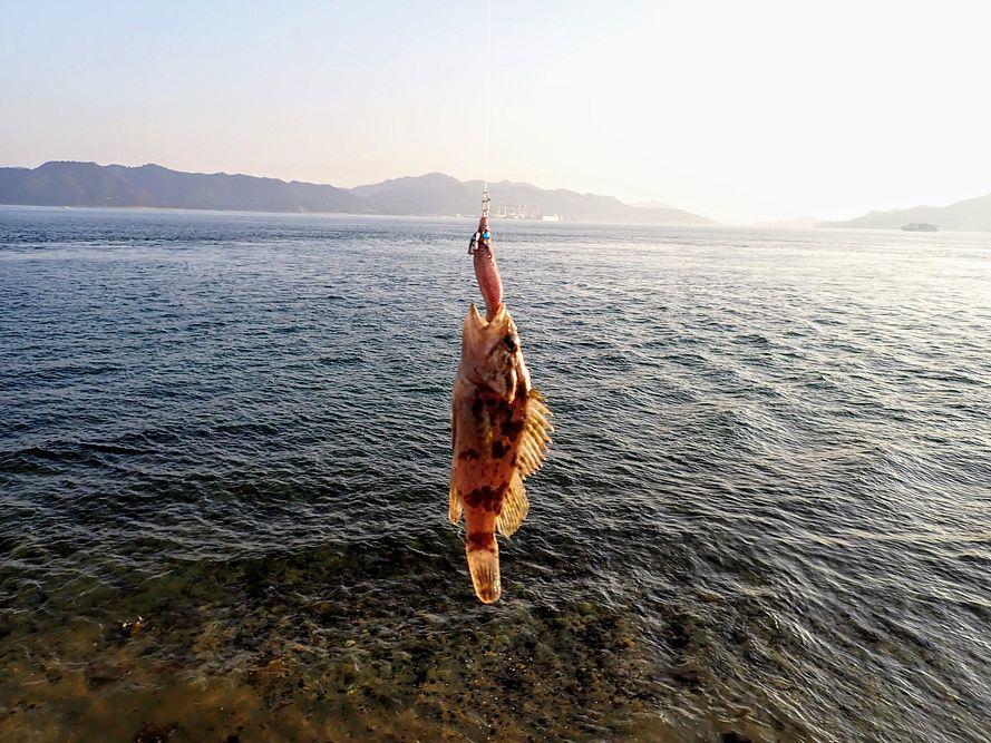 エギで初めて魚がつれました。カサゴ。